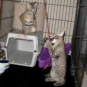 Kittens available for Valentine's Day